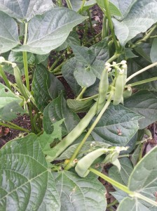Green beans are ready for picking
