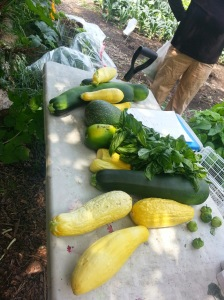Yellow squash, Zucchini, Basil, Tomatillos were the earliest crops