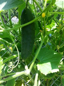 Cucumber growing on its vine