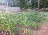 The corn we planted didn't produce and ears, just tall stalks that we used for fall decorations