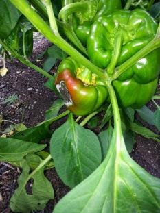 Green bell peppers will eventually turn into red, yellow, or orange. But many do not make it and may go bad before ripening.