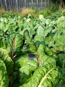 Greens: Swiss chard, mustard, turnips, and beets